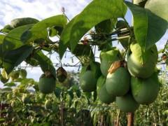 """绿色的百香果也能吃?新品种""""绿皮荔枝味百香果来了"""