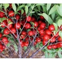 钙果苗供应商 北方新品种农大钙果苗产地、山西运城