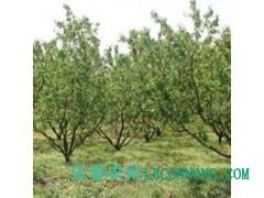 山西杏树_ 杏树树苗 _各种规格杏树低价供应_货源充足