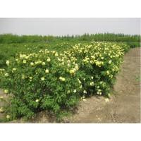 黄刺玫规格、丛生黄刺玫、山西黄刺玫产地供应商