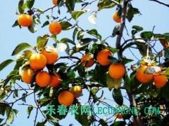 柿子树价格、柿子树直销、山西柿子树种植合作社供应商